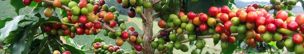 Granos en planta de cafe
